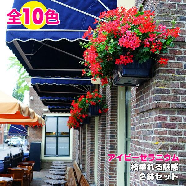 2鉢セット よく咲くアイビーゼラニウムカリオペ4.5号鉢5号鉢と仲間たち全10種こんもりしながら枝垂れるスタイルでヨーロッ