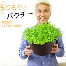 【送料無料】無農薬もりもりパクチー9号(直径27センチ)鉢3ヶ月楽しめる!育てながらつまみ食い!