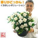 【送料無料】香りがどっかん!くちなしレボリューション9号(直径27センチ)鉢大鉢に咲き誇る香りの鉢植え!【ラッピング・メッセージカード不可】