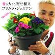 【送料無料】香る大きな鉢植え プリムラ・ジュリアン 9号(直径27センチの鉢)玄関に飾ると素敵です!【2鉢まで同梱可能】【ラッピング不可・メッセージカード不可】【代引き不可】【RCP】