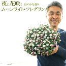 【送料無料】ムーンライトフレグランス9号大鉢(直径27センチの鉢)夜に花咲くほのかな香り暗い場所で香るんです。