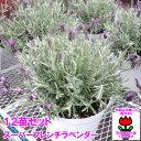 春の花壇苗でガーデニングを楽しむセット!【AME】スーパーフレンチラベンダー シルバーリーフ...