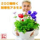 【送料無料】200輪咲く!耐寒性アネモネ!10号大鉢寄せ植えカラフルミックスどーん!と大きい【花色の組み合わせはお任せです】【同梱・ラッピング不可】
