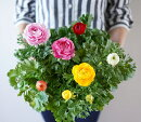 ラナンキュラス大輪MIX3.5寸20苗セット戸塚さんのラナンキュラスは咲いたら直径10センチ超え!【ラッピング・メッセージカード不可】花苗苗セット福袋季節の花苗【RCP】Yep_100