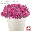 送料無料【どっかんスタイル】スーパーベルダブルリップルピンク8号大鉢ペチュニアカリブラコア八重咲き