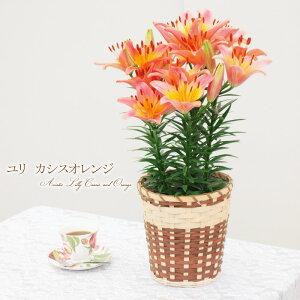 【楽天母の日特集に紹介されました!】母の日 ユリ カシスオレンジ 5本立ち!プレゼント 鉢植え…
