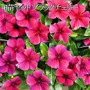 【送料無料】日々草(ニチニチソウ)タトゥーブラックチェリー3.5号ポット苗6苗セット花苗花壇向き暑さに強い