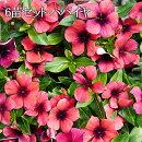送料無料日々草ニチニチソウタトゥーパパイヤ3.5号ポット苗6苗セット花苗花壇向き暑さに強い
