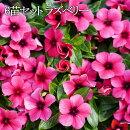 【送料無料】日々草(ニチニチソウ)タトゥーラズベリー3.5号ポット苗6苗セット花苗花壇向き暑さに強い