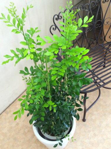 シルクジャスミン8号H100−120cm送料無料ジャスミンインテリア新築祝い引っ越し祝い観葉植物鉢植え贈り物鉢植えゲッキツ月橘オレンジジャスミンイヌツゲ