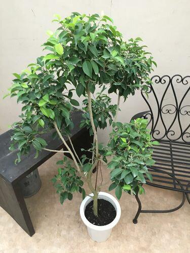 ぽんぽんトピアリー♬ベンジャミン8号鉢H120-140cm大型送料無料観葉植物インテリア