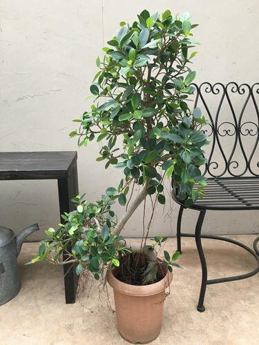 パンダガジュマル8号鉢H100cm程Aタイプ多幸の木送料無料観葉植物大型