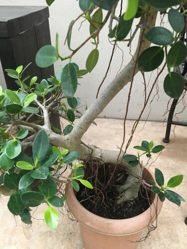 パンダガジュマル8号鉢H80-100cmBタイプ多幸の木送料無料観葉植物大型
