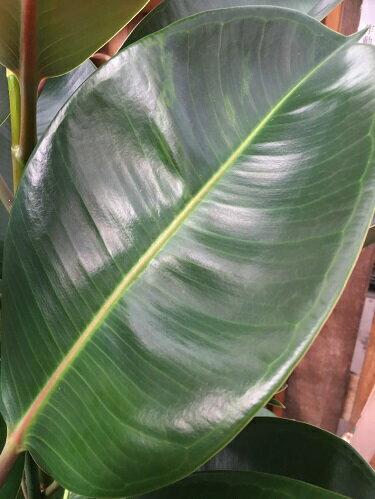 ゴムの木ロブスター10号鉢送料無料大型観葉植物インテリアギフト新築祝い開店祝い開業祝い