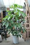 ツピタンサス10号【送料無料/観葉植物/大型観葉植物/記念品/新築祝い/開店祝い/インテリア】