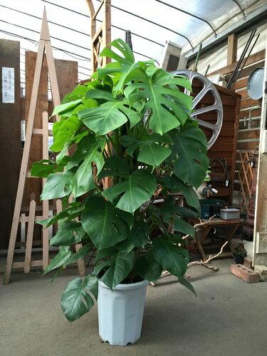 花・観葉植物, 観葉植物  10 H140-160cm