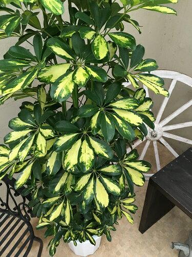 大型観葉植物ホンコンカポック斑入り10号鉢H150-170cm送料無料ギフト新築祝い開店祝い誕生日インテリアシェフレラアルボリコーラ引越し祝い