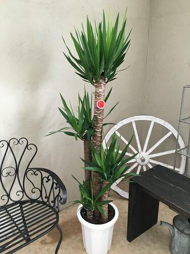 ユッカエレファンティペス青年の樹10号鉢送料無料観葉植物大型記念品新築祝い開店祝い引越祝いインテリア