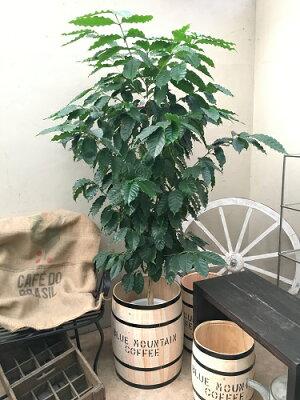 送料無料コーヒーの木育て方説明書付