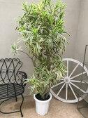 ソングオブインディア 10号 H160-180cm 送料無料 レフレクサ ドラセナ 観葉植物 記念品 新築祝い 開店祝い 引越祝い お祝い ギフト