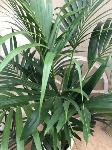 大型観葉植物ケンチャヤシ10号鉢H160-180cm送料無料ヤシ新築祝い開店祝い開業祝い引っ越し祝いギフトお祝い