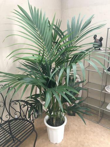 びっくりする程育てやすいケンチャヤシ10号鉢160〜180cm観葉植物大型送料無料