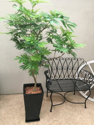 観葉植物大型鉢植えエバーフレッシュH150-170cm程送料無料新築祝い開店祝い開業祝い引っ越し祝いギフト