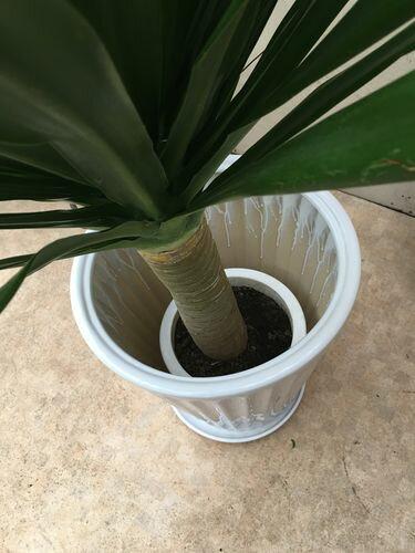 ドラセナドラコH140cm陶器鉢皿付