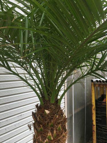 ジャストサイズ!フェニックスロベレニー9~10号鉢LS140~150cm送料無料観葉植物ヤシ大型インテリア