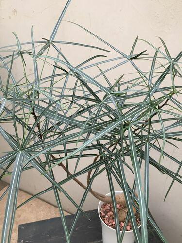 ボトルツリー10号鉢H180cm程現品A送料無料ブラキキトン観葉植物インテリア大型