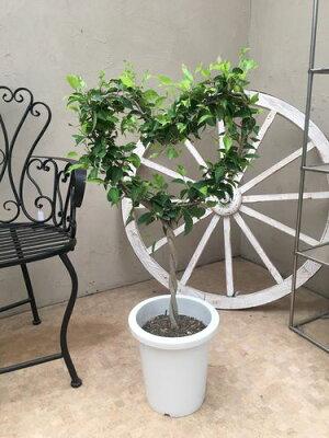 ハート型ベンジャミン8号鉢H90cm程現品送料無料トピアリー仕立て大型観葉植物インテリアお祝い