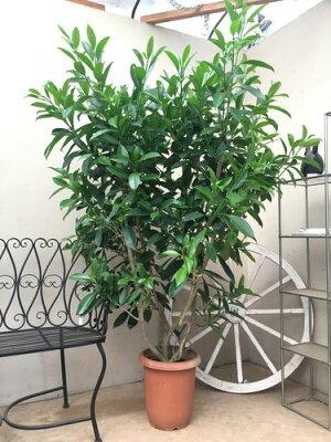 ハワイアンな観葉ファグラエアベルテロアナ10号鉢H170cm程観葉植物インテリアレイフラワー新築祝い開店祝い大型