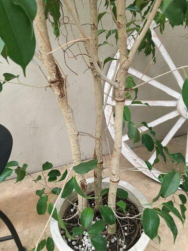 自然樹形ベンジャミン10号鉢H230cm程現品送料無料ナチュラル仕立て大型観葉植物インテリアお祝い
