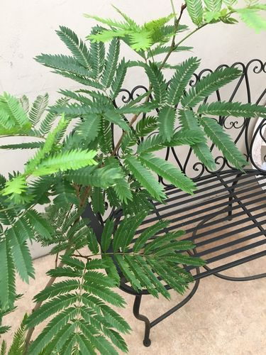 エバーフレッシュ8号鉢H130cm程送料無料ねむの木観葉植物大型新築祝い開店祝い開業祝い引越し祝い退職祝いギフトインテリア