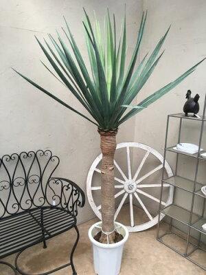 0℃までOK超貴重種ドラセナパラオ10号鉢H190cm程現品観葉植物インテリア送料無料大型新築祝い開店祝い開業祝い引越し祝い移転祝い
