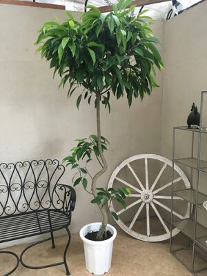 ショウナンゴム10号鉢H200cm程現品観葉植物送料無料大型インテリアアムステルダムキング新築祝い開店祝い開業祝い引越し祝い移転祝いお祝いギフト