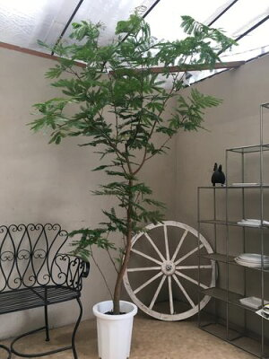 エバーフレッシュ10号鉢H230cm程現品D-3観葉植物送料無料ねむの木アカサヤネムノキインテリアお祝い開店祝い開業祝い新築祝い引越し祝い移転祝いギフト