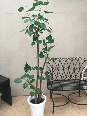 2本立インドボダイジュ10号鉢H190cm程現品送料無料観葉植物レリジオーサギフトインテリアお祝いオフィスプレゼント新築祝いフィカス印度菩提樹森の王テンジクボダイジュ天竺菩提樹神聖な樹霊樹