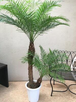 大型観葉植物フェニックスロベレニー10号鉢2本立送料無料開店祝いヤシ新築祝いインテリアギフト