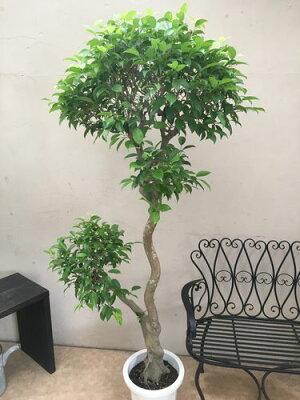 アデニウム10号鉢H60cm程現品送料無料観葉植物大型
