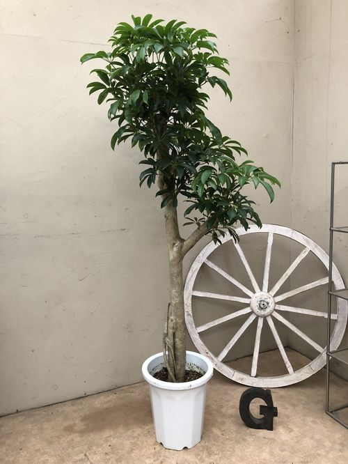 カポック10号鉢H170cm程