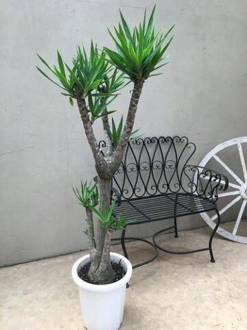 ユッカ ブランチ 青年の樹 10号鉢 H160cm 現品