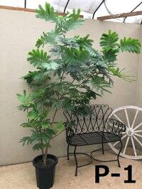 大型観葉植物エバーフレッシュ現品10号鉢送料無料育て方説明書付ねむの木アカサヤネムノキインテリアお祝いプレゼント新築祝い