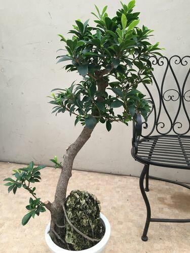 細葉ガジュマル8号H110cm石付現品(R-1)観葉植物インテリア送料無料