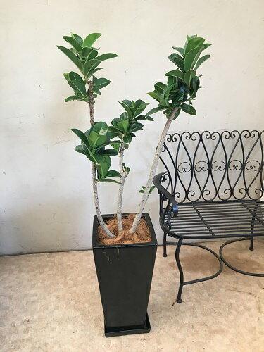 アポロゴム10号鉢H170cm程送料無料観葉植物新築祝い開店祝い開業祝い引っ越し祝い移転祝いギフトインテリア
