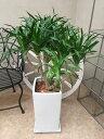 ドラセナカンボジアーナ 105cm 現品A カンボジアナ 観葉植物 送...