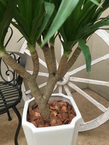 現品ドラセナカンボジアーナ10号鉢カンボジアナ観葉植物送料無料育て方説明書付記念品新築祝い開店祝い引越祝いインテリア