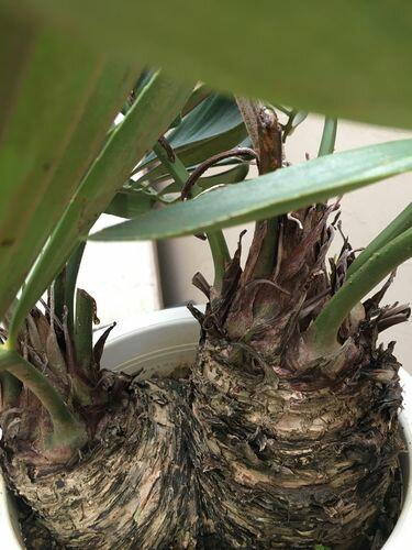 ソテツ10号鉢H66cmザミアメキシコソテツ送料無料観葉植物インテリア大型蘇鉄