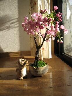 櫻桃花盆景盆栽櫻花盆景櫻桃開花盆景櫻花櫻花盆景植物禮物