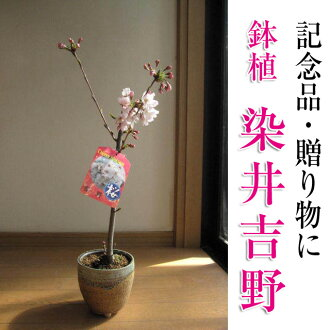 2015 是開花日曆 someiyoshino 櫻桃樹。 這是罕見的櫻桃盆景日本大花 someiyoshino 櫻桃樹盆栽 someiyoshino 櫻桃樹。